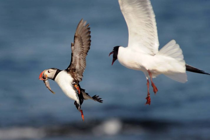 atlantic puffin and laughing gull