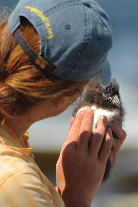 Kelsey Navarre with the first puffin chick of the summer