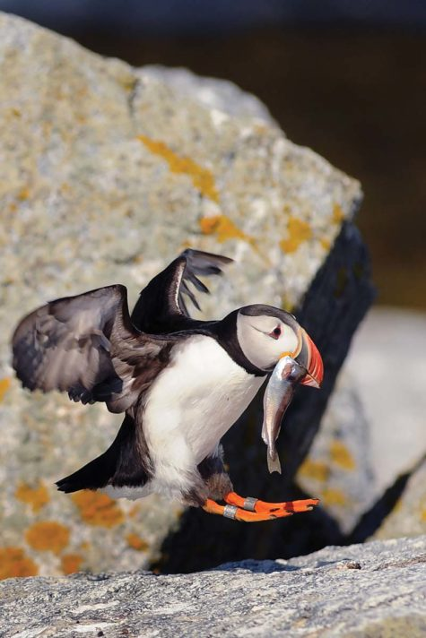 A puffin with a fish