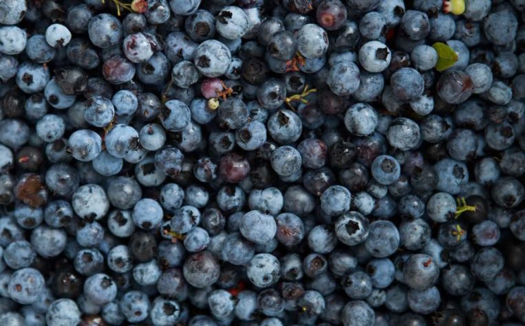 Pick-Your-Own Blueberries | A-List | The Maine Magazine