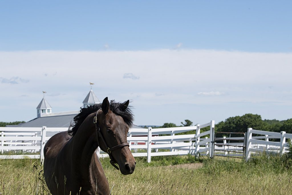A Morgan horse grazes at Pineland Farms Equestrian Center, a state-of-the-art facility for breeding and training in Maine.