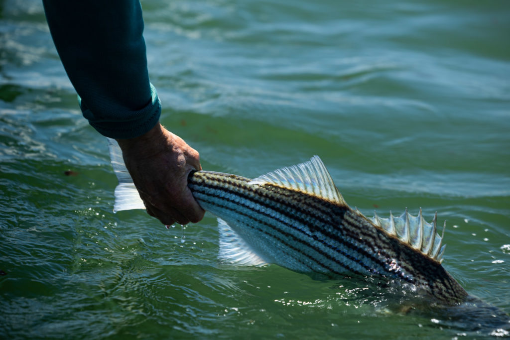 Carefully release a striped bass into the water.  Maine regulations require that a striped bass measure between 28 and 35 inches in length from the lower jaw to the tip of the tail to be a keeper.
