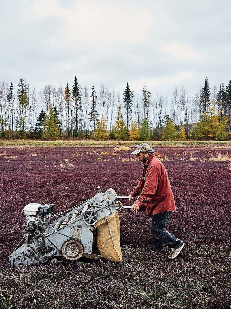 Maine man harvesting cranberries