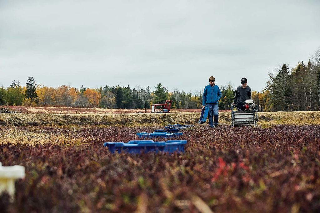 Ashton Hammond and Michael Cowland harvesting cranberries at Lynch Hill Farms in Harrington, Maine.