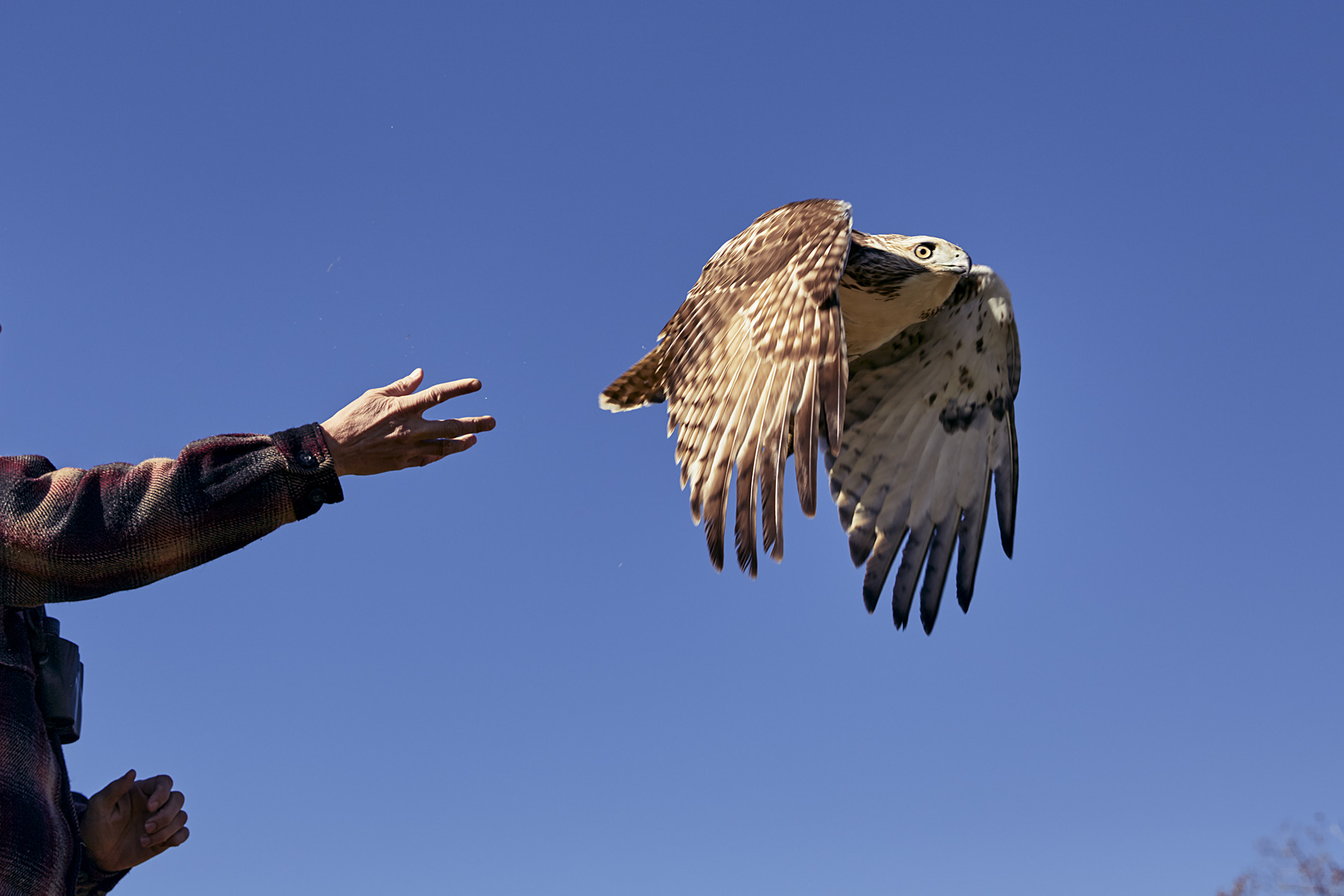 Scott McNeff releases a red-tailed hawk that was captured, banded, and released. This banding information goes into a national database used in part to monitor avian populations.