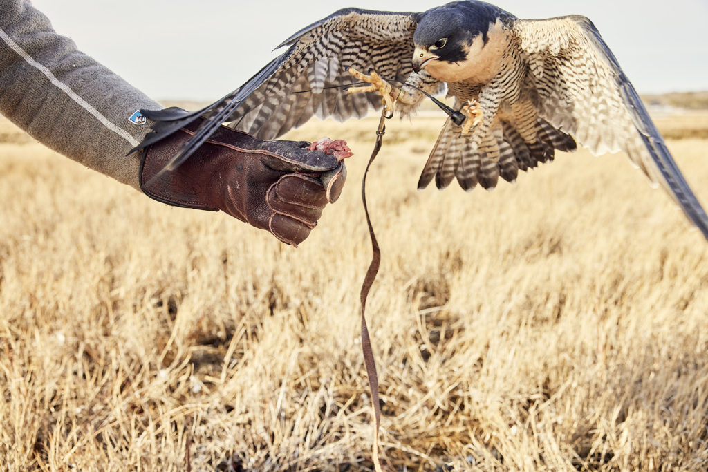 It's important to reward your bird in falconry. Falcons do not learn through punishment or denial; they only respond to positive reinforcement.